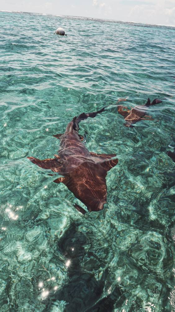 Swimming with sharks. Shark Ray Alley. #Belize #sharkrayalley