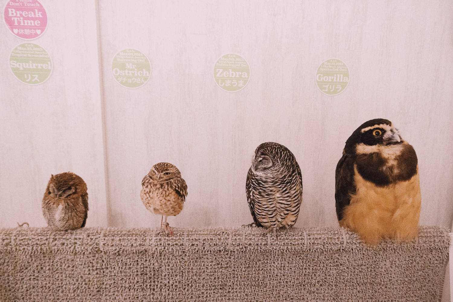 The Most Unique & Best Owl Cafe In Tokyo, Japan - Tokyo Travel Blog
