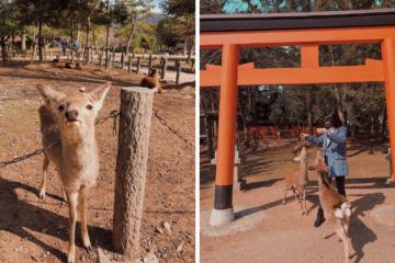 Nara Japan Deer Park - Amy Marietta