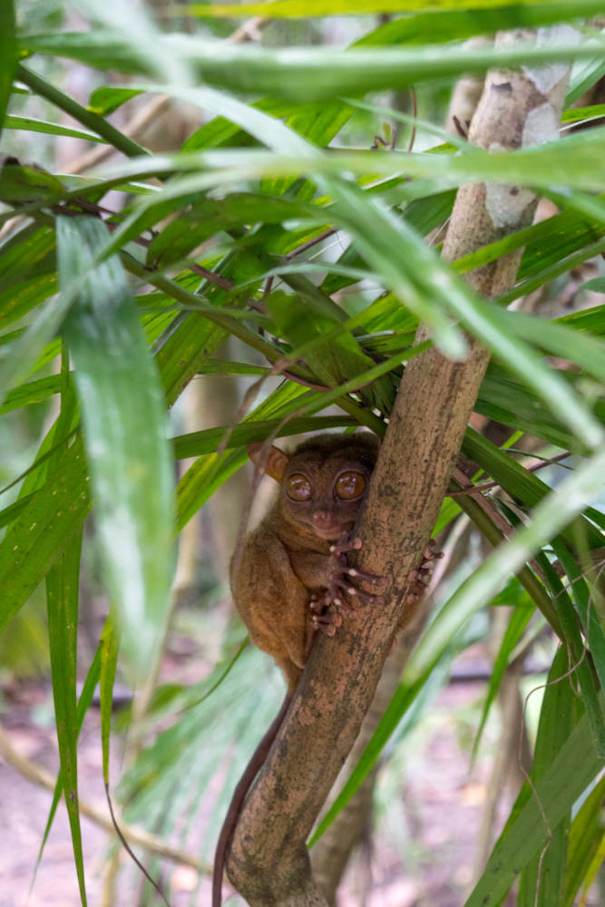 Tarsier Sanctuary Bohol - How To See All Of Bohol Philippines In A Day #bohol #tarsier #chocolatehills - Amy Marietta